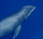 Melon-headed whale (Peponocephala electra) in the Philippines