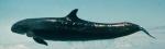 False killer whale (Pseudorca crassidens)