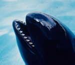 False killer whale (Pseudorca crassidens)