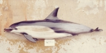 Short-beaked common dophin (Delphinus delphis) from California
