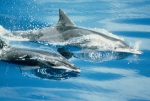 Rough-toothed dolphins (Steno bredanensis) in the eastern tropical Pacific