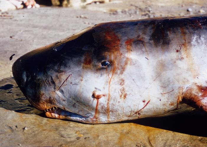 Stranded pygmy sperm whale (Kogia breviceps) - California, 1955