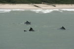 Atlantic humpback dolphins (<i>Sousa teuszii</i>) just outside the surf in West Africa