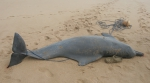 Atlantic humpback dolphin (<i>Sousa teuszii</i>) in  West Africa