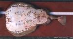 Torpedo (Torpedo) marmorata Risso, 1810