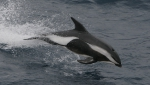 Hourglass dolphin (Lagenorhynchus cruciger). Copyrighted by A. R. Martin.
