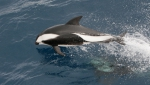 Hourglass dolphin (<i>Lagenorhynchus cruciger</i>). Copyrighted by A. R. Martin