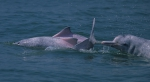 Indo-Pacific humpback dolphins (Sousa chinensis) in Hong Kong