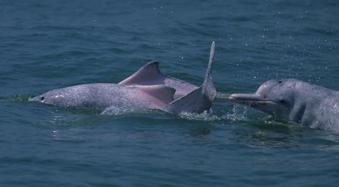 Indo-Pacific humpback dolphins (Sousa chinensis) in Hong Kong