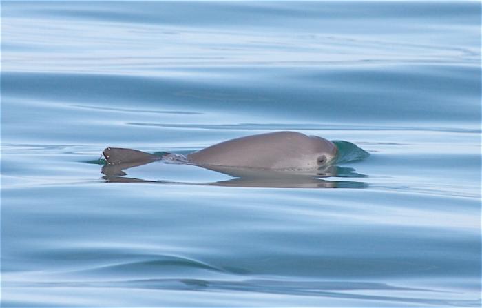 Vaquita (Phocoena sinus) in the Gulf of California, Mexico