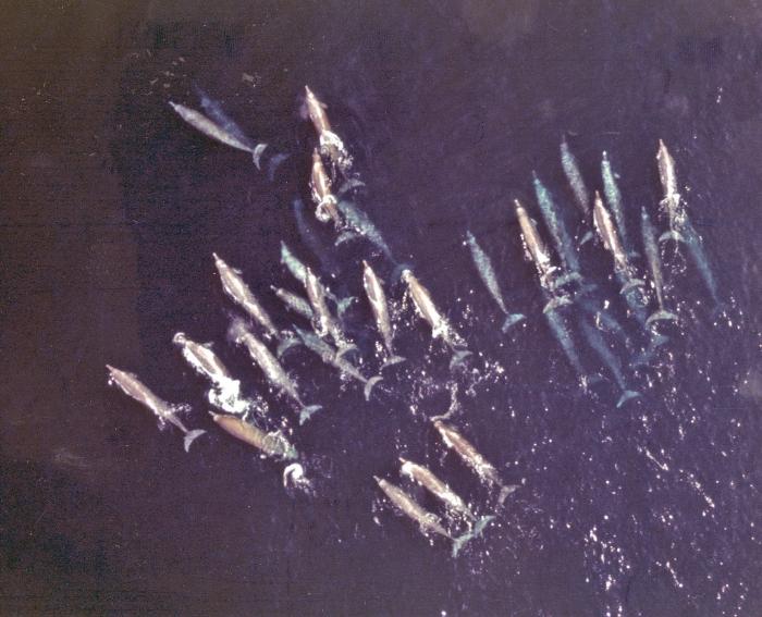 School of Baird's beaked whales (Berardius bairdii in the eastern North Pacific