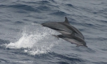 Striped dolphins (Stenella coeruleoalba) in the eastern tropical Pacific