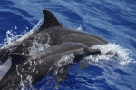 Rough-toothed dolphins (Steno bredanensis)
