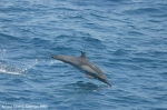 Long-beaked common dolphin (<i>Delphinus capensis</i>)