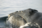 North Pacific right whale (<i>Eubalaena japonica&lt;/I&gt;)