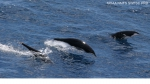 Northern right whale dolphins (<i>Lissodelphis borealis</i>)