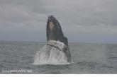 Humpback whale (Megaptera novaeangliae), author: NOAA NMFS SWFSC PRD