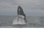Humpback whale (Megaptera novaeangliae)