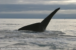 North Pacific right whale (Eubalaena japonica)