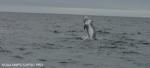 Risso's dolphin  (<i>Grampus griseus</i>)