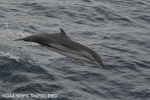 Striped dolphin (Stenella coeruleoalba) in the eastern tropical Pacific