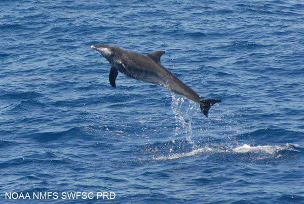Rough-toothed dolphin (Steno bredanensis)
