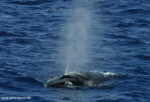 Sei whale (Balaenoptera borealis)