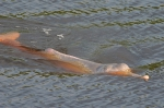 Amazon river dolphin (Inia geoffrensis)