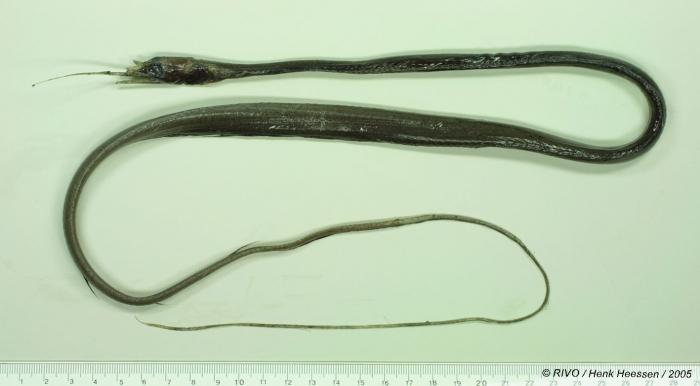 Nemichthys scolopaceus Richardson, 1848