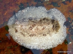 Discodoris fragilis
