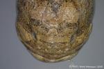 Batrachoidiformes