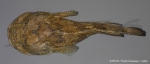 Batrachoidiformes