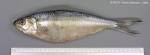 Sardinella maderensis (Lowe, 1838)