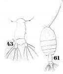 P. tenuicauda
