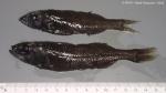 Platytroctidae sp.