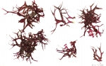 Rhodophyta (red algae)