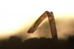 Aetea truncata (Landsborough, 1852)