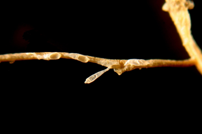 Scruparia ambigua (d'Orbigny, 1841)