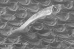 Membranipora membranacea (Linnaeus, 1767)