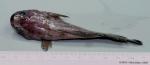 Raniceps raninus (Linnaeus, 1758)