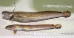 Enchelyopus cimbrius (Linnaeus, 1766)