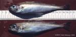 Trisopterus esmarkii (Nilsson, 1855)