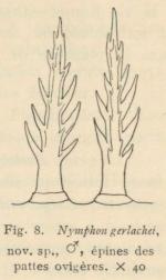 Giltay (1934, fig. 08)