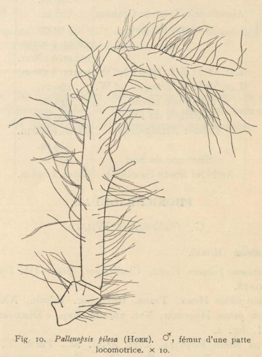 Giltay (1934, fig. 10)