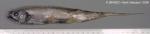 Lyconus brachycolus Holt & Byrne, 1906