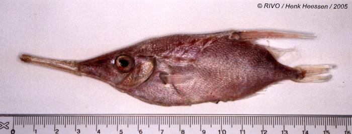 Macroramphosus scolopax (Linnaeus, 1758)