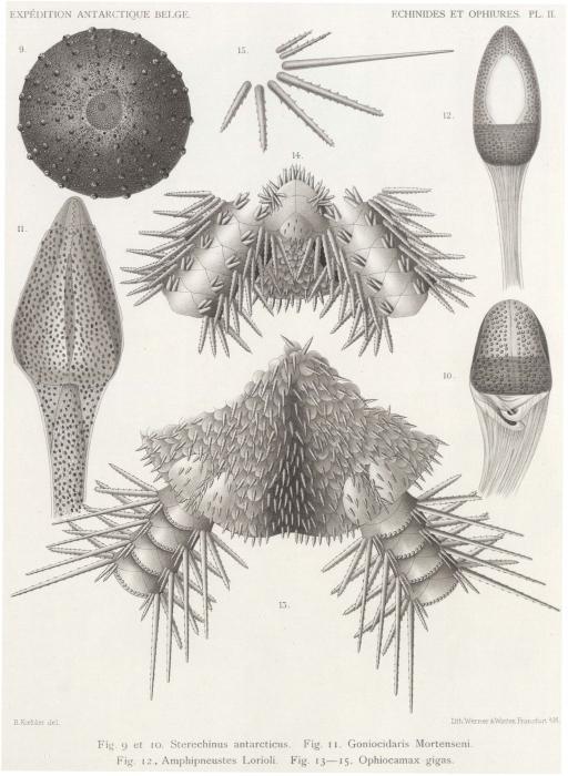 Koehler (1901, pl. 2)