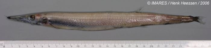 Arctozenus risso (Bonaparte, 1840)