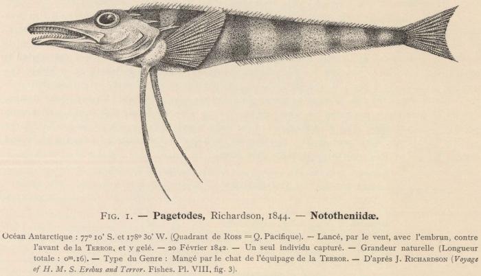 Dollo (1904, fig. 1)