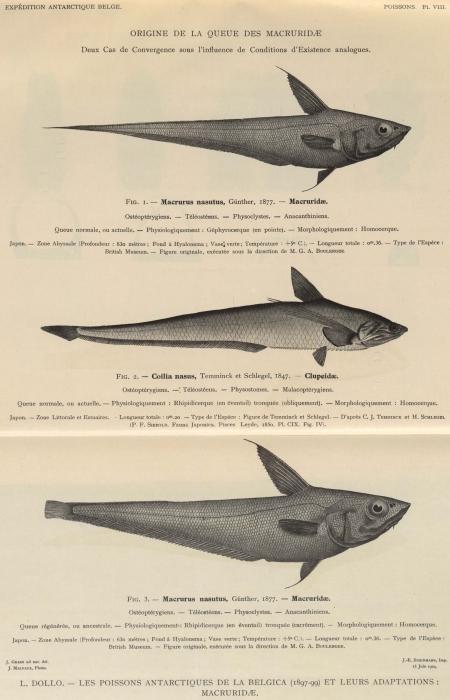 Dollo (1904, pl. 08)